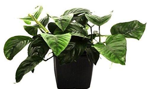 【アクアリウム】大きめな葉っぱが特徴の丈夫な水草3選!