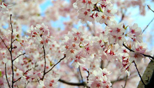 【四季を楽しもう】春を感じる桜の木のミニ盆栽!